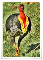Brush turkey facts, amazing facts