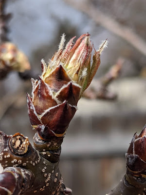 Pear Tree Bud Emerging from Dormancy