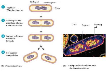 Amitosis Adalah - Kamus Biologi Online