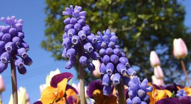 ムスカリ…青いすずらんのような花