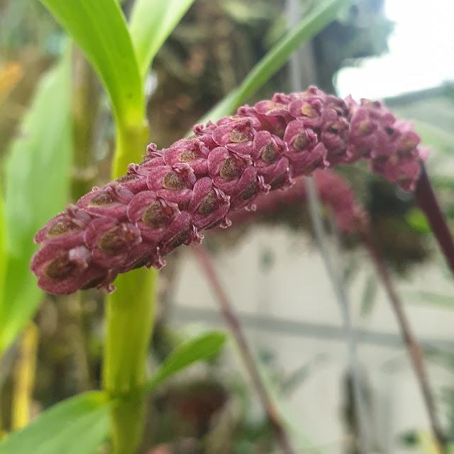 Bulbophyllum ustulatum