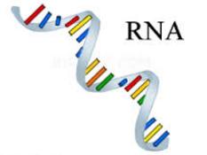Pengertian RNA, Fungsi, Struktur, & Jenisnya