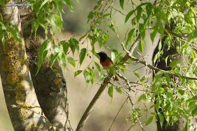 Cotxa cua-roja (Phoenicurus phoenicurus)