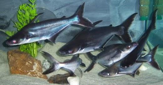 Cara Pembenihan Ikan Patin Alam Ikan