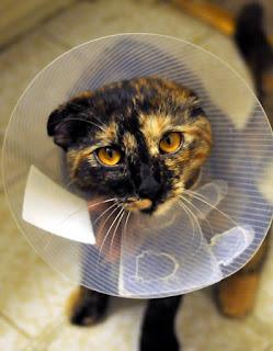 Cuidados Post Operatorios en Gatos operados