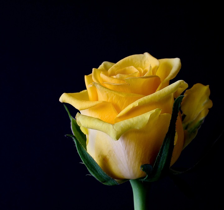 Foto bunga mawar oranye