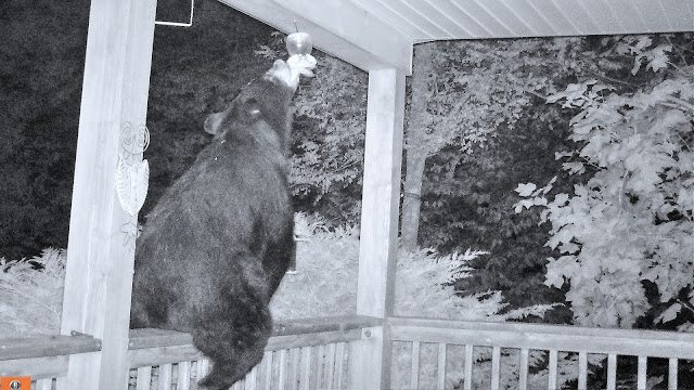 Bear Thinks Its a Hummingbird