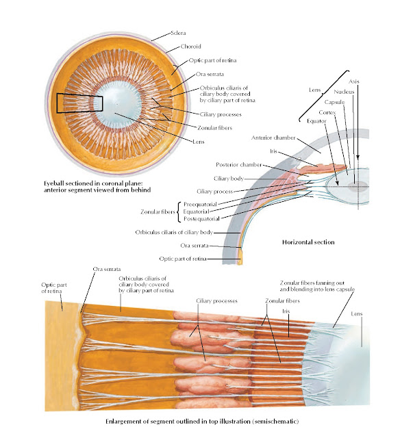 Lens and Supporting Structures Anatomy