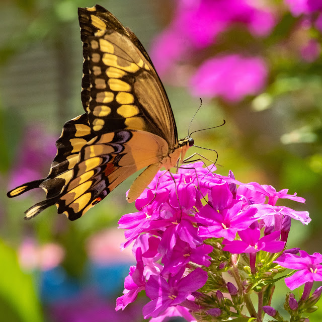 Eastern Tiger Swallowtail, Heard Natural Science Museum & Wildlife Center