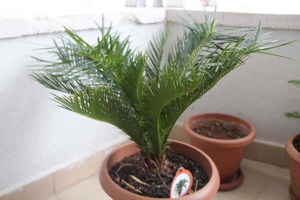 tanaman hias sikas