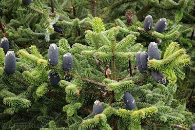 Himalayan Blue Pine