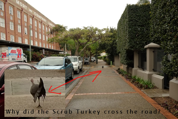 Wild scrun turkey walks along pavement near luxury riverside units Teneriffe Brisbane. Photo by Kent Johnson.