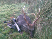 Sika stag taken in the rut 2009