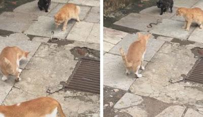 Kucing vs ular kobra