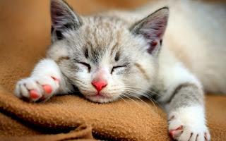 Kucing Lagi Tidur Siang Lucu Warta Batam