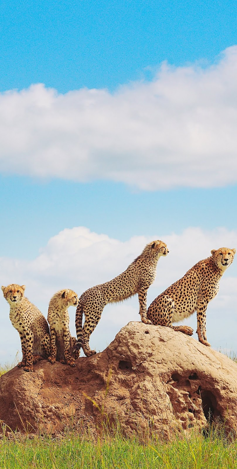 A cheetah with her young cubs.