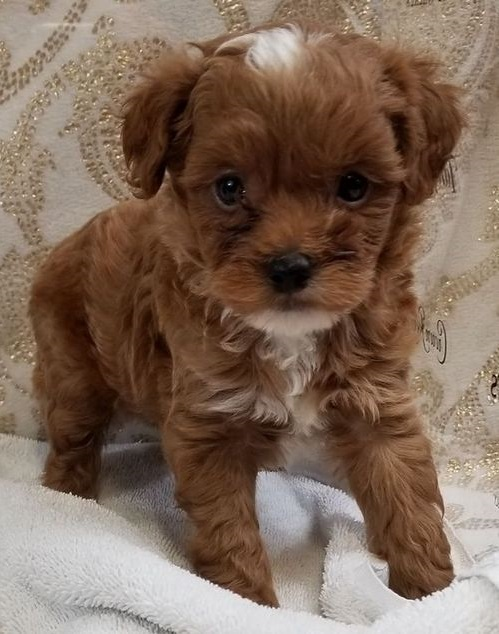 Buy Maltipoo Puppies Online | Perfect Family Dogs USA