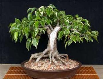 annaffiatura e potatura di un ficus bonsai hobby bonsai. Black Bedroom Furniture Sets. Home Design Ideas