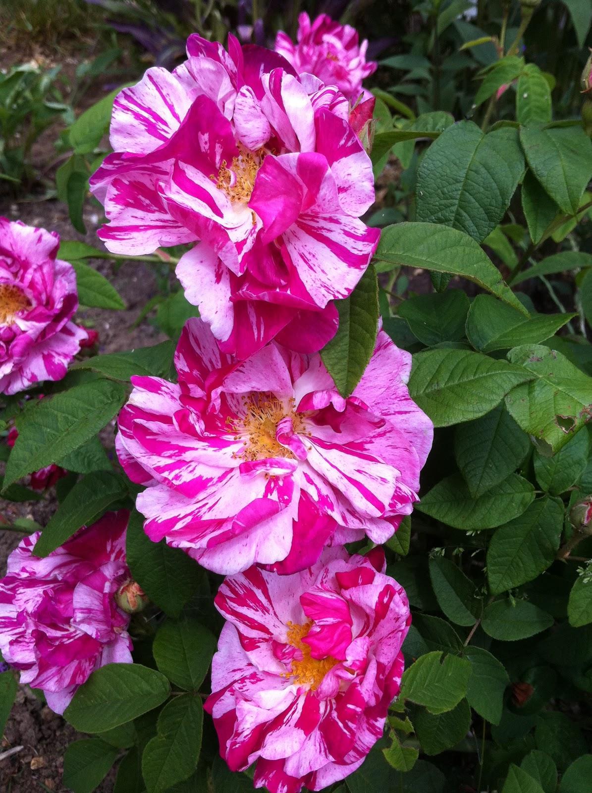 Rosa Gallica 'Rosa Mundi'