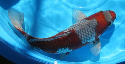 Ikan Koi Ochiba Sigure