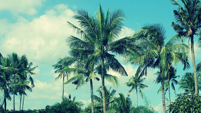 Asal Usul Pohon Kelapa