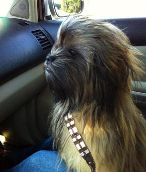dog that looks like chewbacca - 500×590
