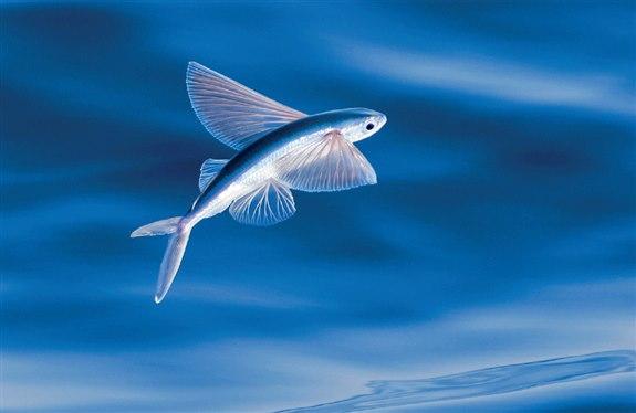 Uçan Balık - U Hayvan İsimleri