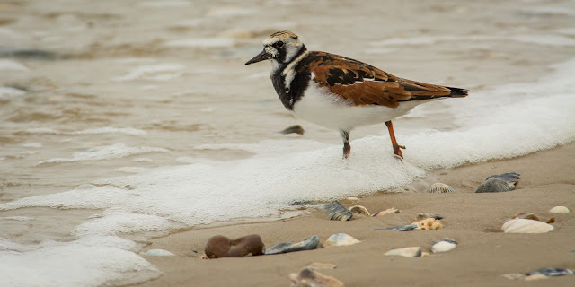 Ruddy Turnstone, Rollover Pass