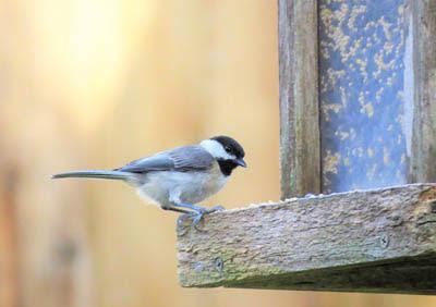 Photo of a Carolina Chickadee at a feeder