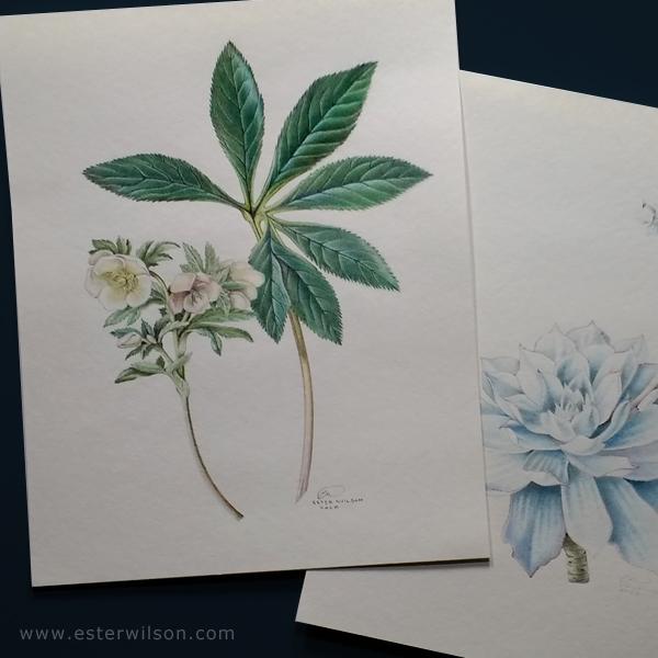 Hellebores Botanical - 8x10  Original colored pencil drawing