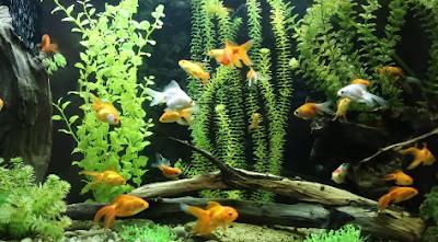 Apa saja perbedaan ke 3 ikan hias antara guppy, molly dan platy