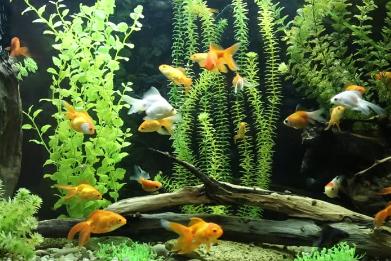 Inilah Perbedaan Ikan Platy, Molly, dan Guppy