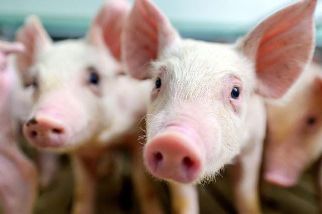 Flu Babi Jenis Baru Bernama G4 Muncul di China, Bisa Juga Jadi Pandemi