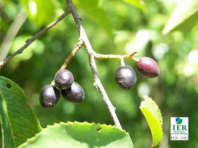 flora yungas Palo luz (Prunus tucumanensis)