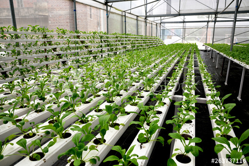 Greenhouse soilless cultivation of vegetables