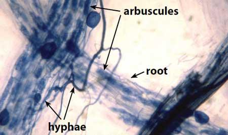 struktur tubuh glomeromycota