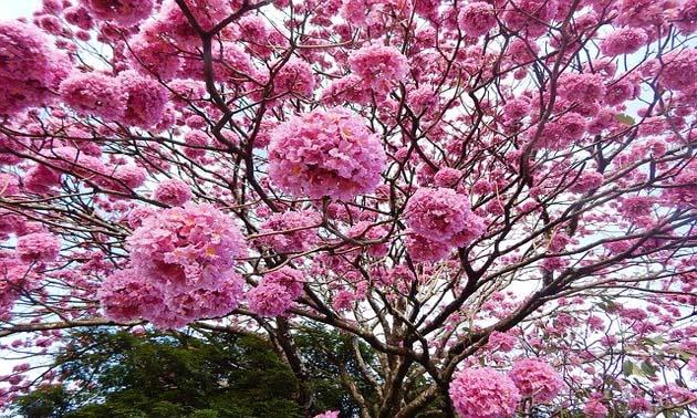 Ipê roxo (Tabebuia impetiginosa)