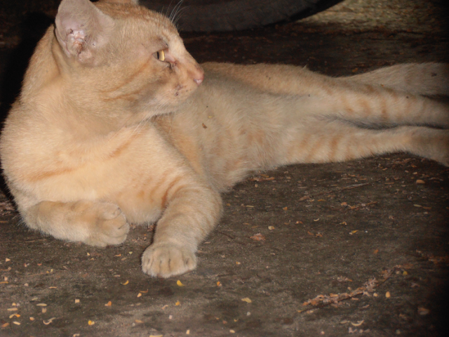 An Orange colored cat beautiful eyes