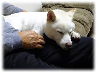 私の膝に顎を載せて眠っている白柴チロ