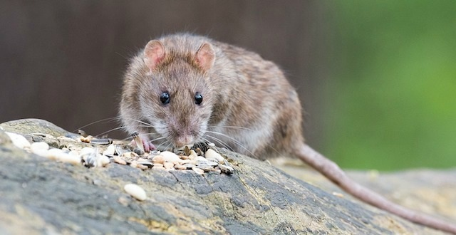 Best Rat and Mouse Poison Review