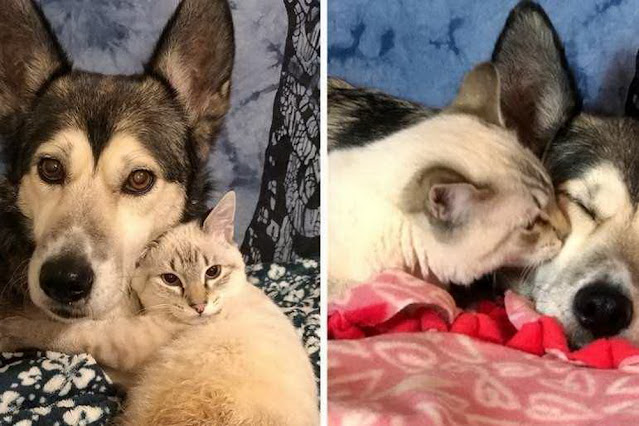 Котёнок Харпурр с парализованными задними лапками нашёл себе приёмную маму. Ею стала большая и ласковая хаски!