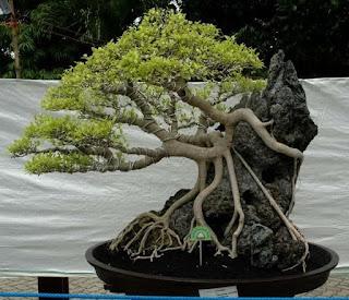 Growing on a rock Bonsai style (Seki-joju)