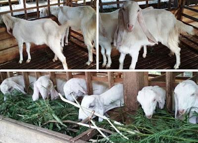 penghasil susu etawa terbesar di Jawa Timur Indonesia