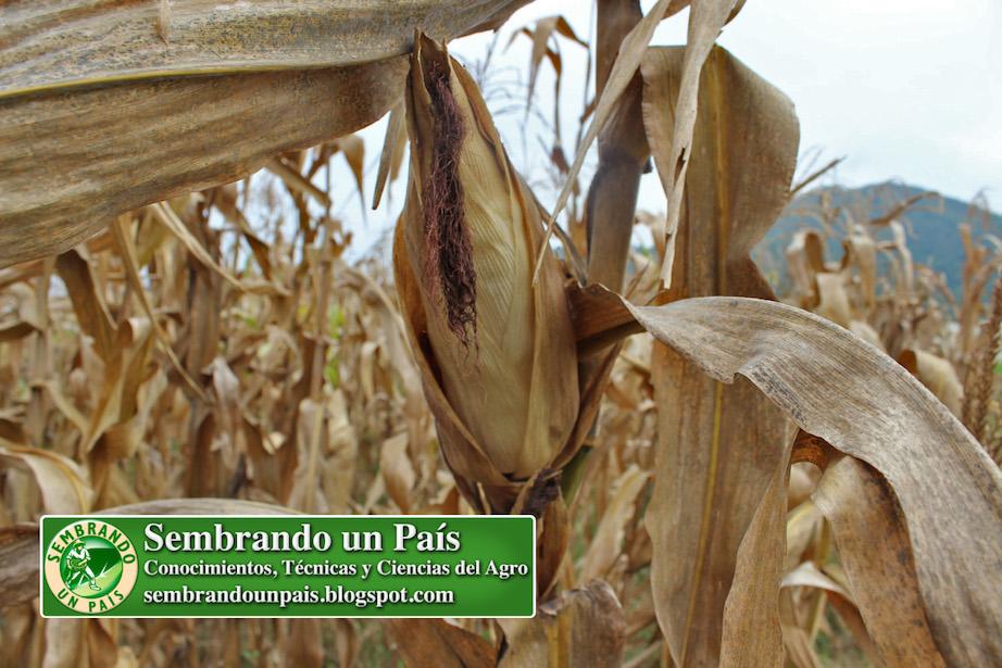 maíz para harina