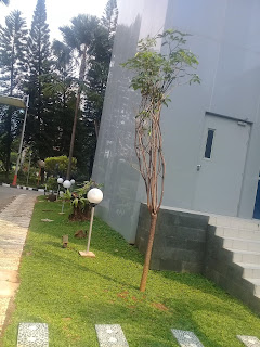 pohon pulai