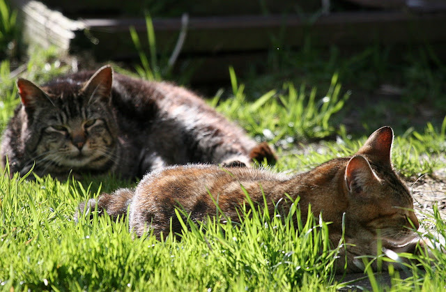 2 cats sunning themselves in the grass