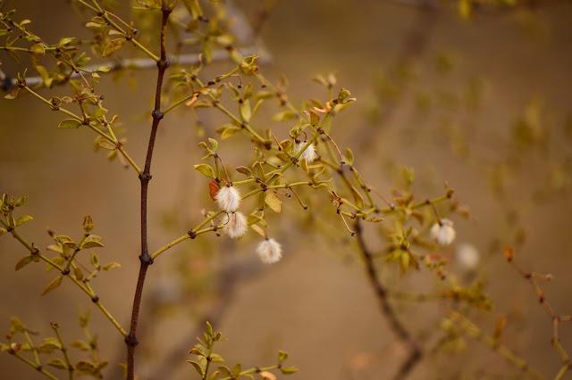 larrea tridentata, creosote bush, seeds, sonoran, desert, small sunny garden, amy myers, photography