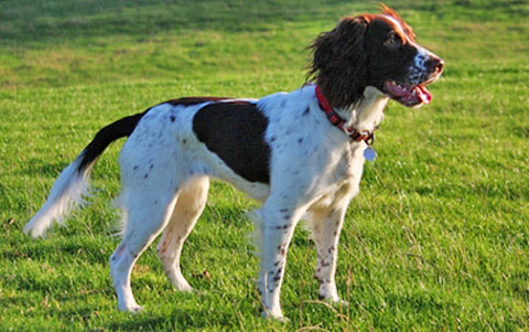 English Springer Spaniel Breed Profile Australian Dog Lover