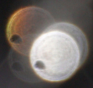 semi-oval orb holes