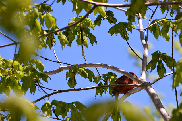 Northern Cardinalbirdin Pembroke, Ontario Photo by Stacey McIntyre-Gonzalez